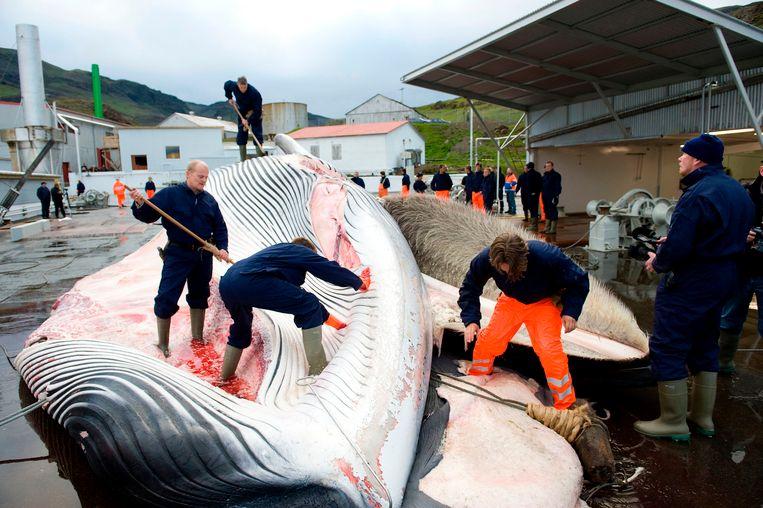 IJslandse walvisvaarders snijden een vinvis open, in 2009.  Beeld AFP