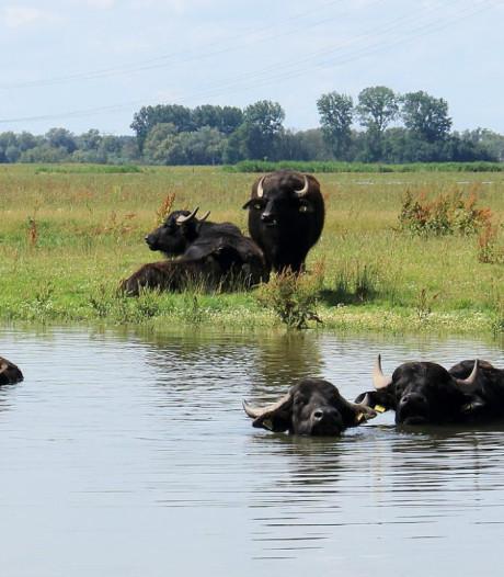 De kudde waterbuffels in de Noordwaard is in drie jaar verdubbeld