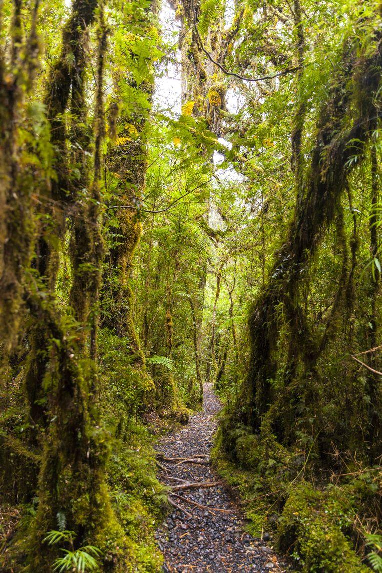 Een pad door het Parque Pumalin met eeuwenoude lariksen. Beeld Hilde Harshagen