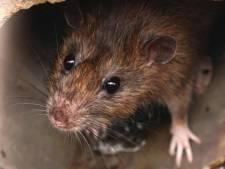 Rattenplaag is steeds lastiger te stoppen