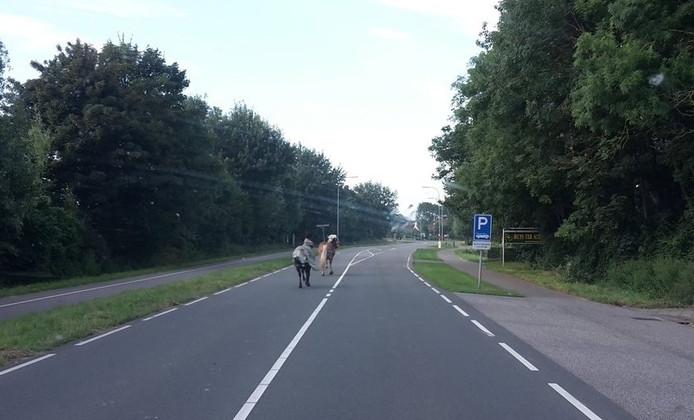 De twee loslopende paarden