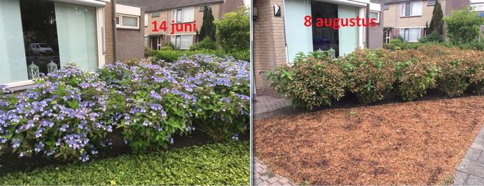 De tuin van Lian Vrijsen voor (links) en na (rechts) de hittegolf.