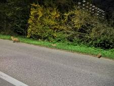 Agenten spotten vossenwelpjes in Capelle