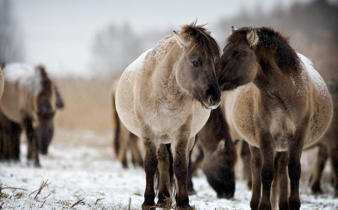 Konikpaarden in de Oostvaardersplassen in de sneeuw.