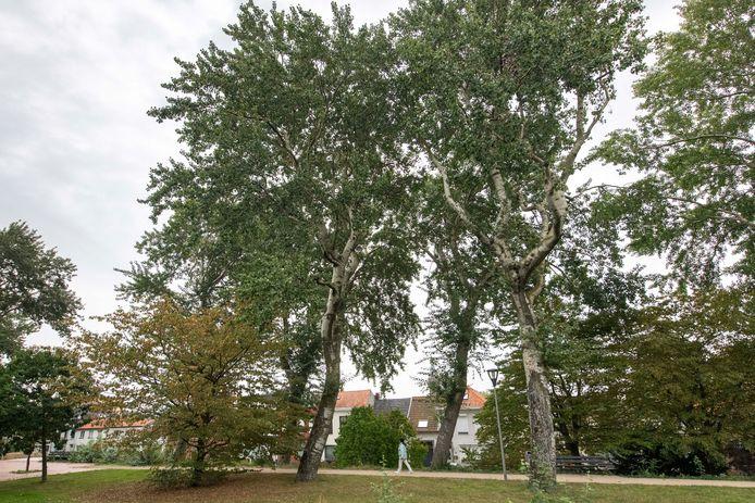 Het Koning Willem I-park aan de rand van de Terneuzense binnenstad met de te kappen abelen.