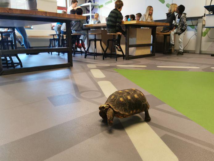 Landschildpad Zippo die rondloopt door de klas met op de achtergrond de leerlingen die les krijgen over reptielen.