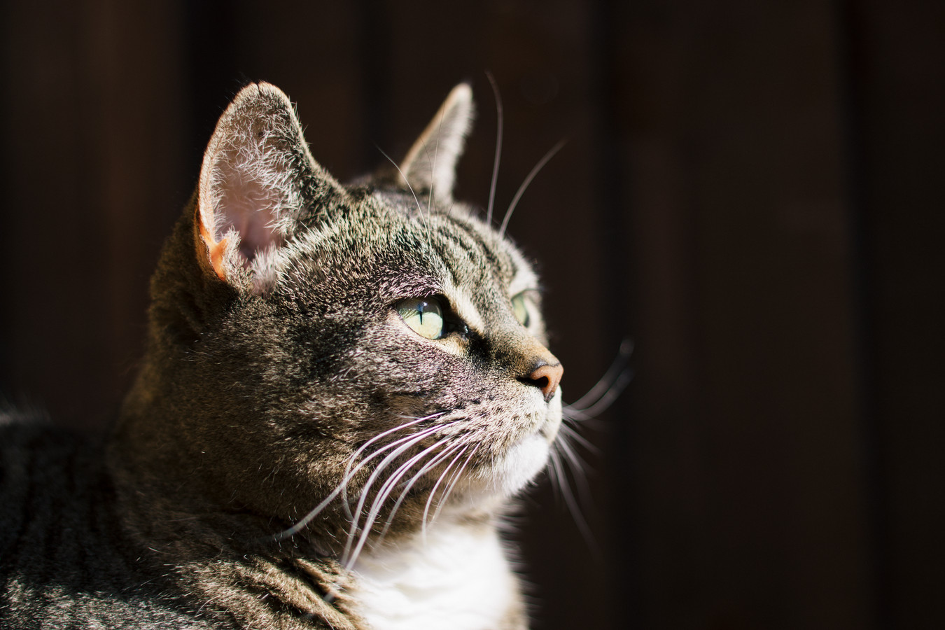 UK, Essex, female Tabby Cat looking away