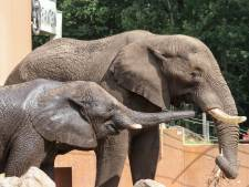 Olifant Duna is zwanger: baby op komst in Ouwehands Dierenpark