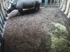 Burgers' Zoo volgt drachtige neushoorn met webcam