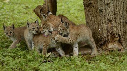 Bucketlist Ardennen: met de kids op safari in eigen land