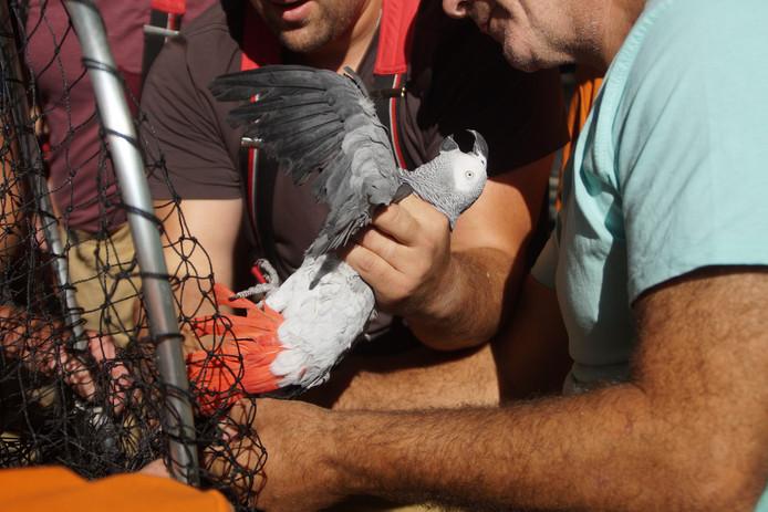 Brandweer redt papegaai uit boom in Zuidland