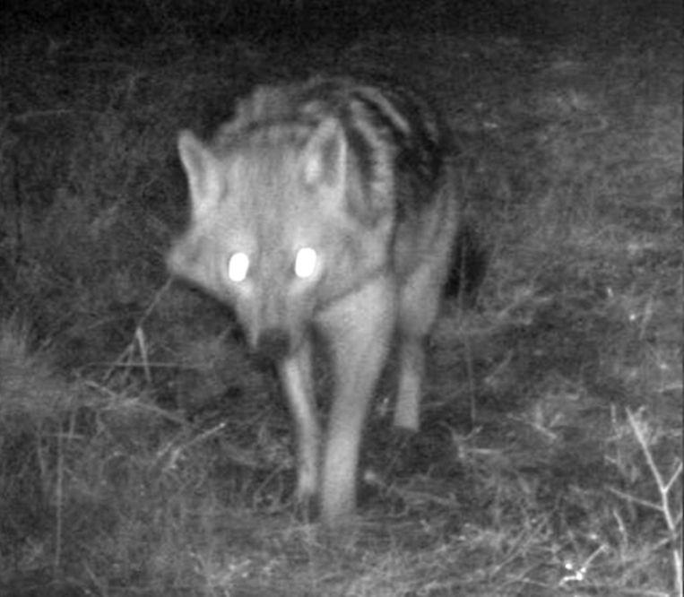 Deskundigen bevestigen dat het dier dat in februari 2016 werd vastgelegd echt een jakhals is. Beeld ANP