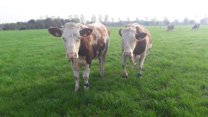 De koeien van biologische melkveehouder Verhulst.