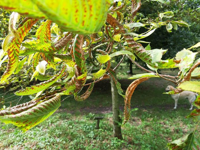 De tamme kastanjes in het Bos van de Toekomst in Schuddebeurs lijden aan een nog onbekende ziekte