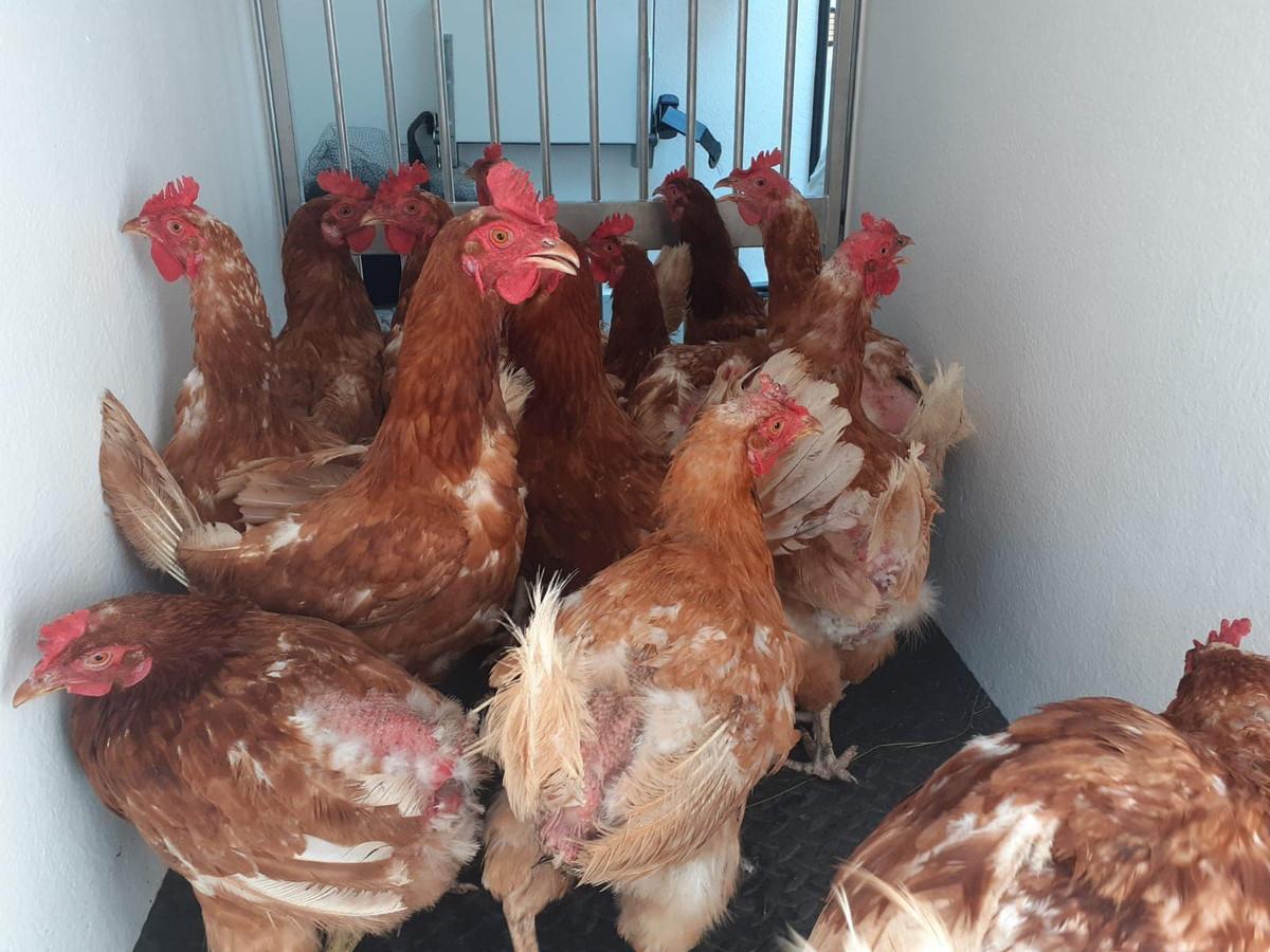 De veelal sterk vermagerde kippen zijn naar een opvangadres gebracht.