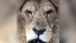 VIDEO. Toerist komt oog in oog te staan met gevaarlijke leeuw