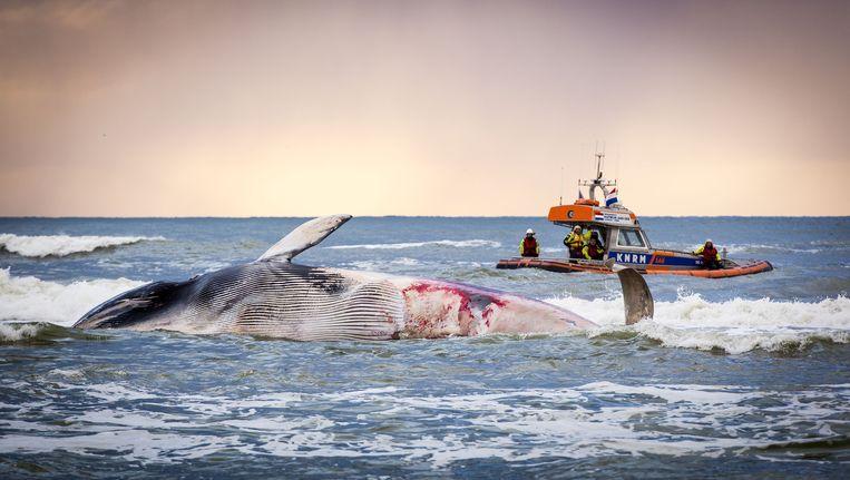 Een dode walvis spoelt aan op een strand nabij de Nederlandse stad Den Haag.