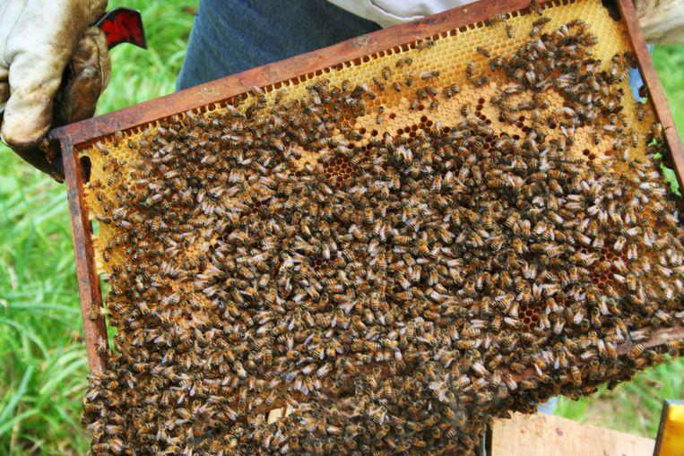 Steeds meer Limburgers houden bijen.