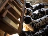 Lente: lammetjes drinken op een rij aan melkflessenbar in Neede