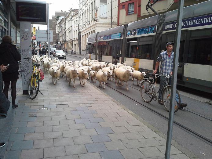 Herder Nils loodst zijn schapen door de Nederkouter.