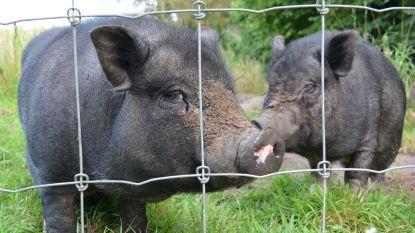 Gezocht: nieuwe thuis voor gedumpte hangbuikzwijnen, anders volgt de slachtbank