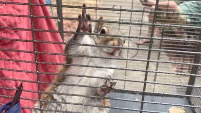 Man geeft eekhoorn meth om mensen aan te vallen