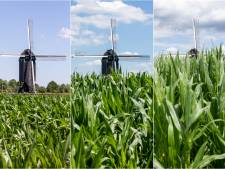 De mais groeit in het groene Twente