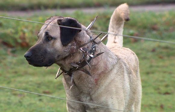 Het beeld van de herdershonden met hun halsbanden lokte in de buurt verontwaardiging uit.