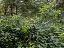 Bladvlo gaat strijd aan met woekerende Japanse duizendknoop