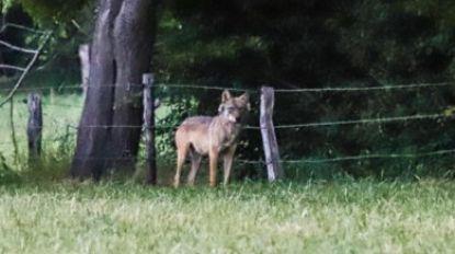 Wolf Billy aangereden in Turnhout, dier kan op eigen kracht wegvluchten