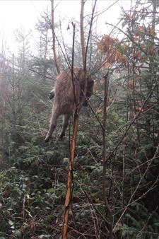 Marcassin éviscéré dans un arbre: la toile s'enflamme et dénonce les dérives de la chasse