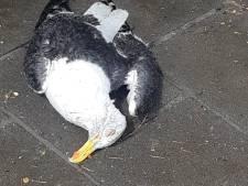 Bizar: vogel krijgt megahagelsteen op zijn kop en valt vlak voor voeten van vrouw neer