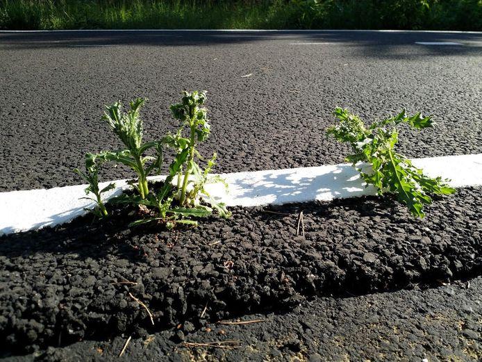 Onkruid groeit door het pas gelegde asfalt van de nieuwe fietsallee van ruim tien kilometer tussen Alphen-Chaam naar Gilze en Rijen.