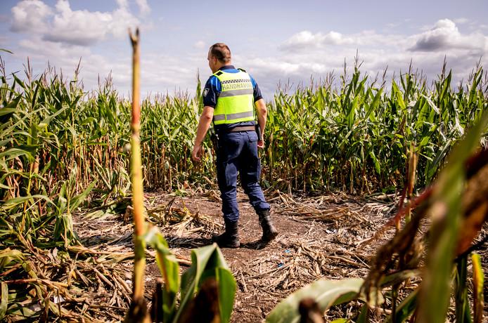 Opsporingsambtenaren controleren een maisveld vlakbij benzinestation Streepland langs de A16. De velden rondom Streepland zijn een populaire verstopplaats voor illegalen die proberen in vrachtwagens te klimmen die op het terrein bij Streepland parkeren.