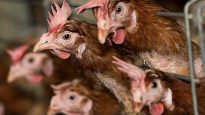 20.000 kippen gaan samen met fokkerij in vlammen op in Philippeville