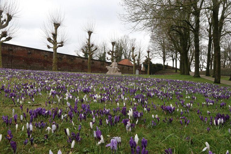 Her en der in Ieper staan al duizenden krokussen in bloei.