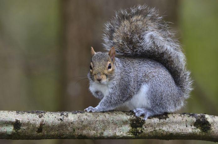 Tijdens de studie observeerden onderzoekers grijze eekhoorns om te ontdekken dat zij gesprekken van vogels afluisteren om zo te horen of er mogelijk gevaar dreigt