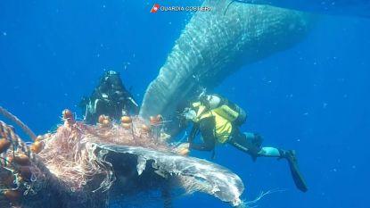 Duikers redden potvis uit vissersnet