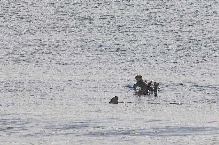 De witte haai zwemt net achter de surfer in Cape Cod door.