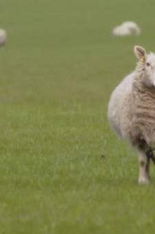 Is dit de saaiste film ooit? Acht uur lang schapen tellen in Baa Baa Land