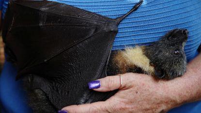 Australische vrouw verzorgt dagelijks jonge vleerhonden die moeder verloren in het vuur