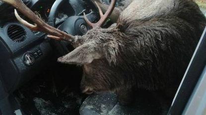 Onwaarschijnlijke beelden: gigantisch hert knalt door voorruit boven op bestuurder