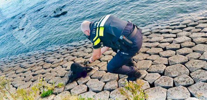De pootjes van de geit zaten aan elkaar vastgebonden toen de politie het beestje aantrof.