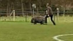 Zwijn zorgt voor extra sfeer op voetbalplein