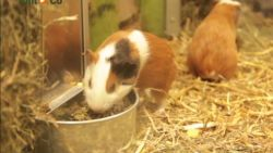 """Nieuwe dierenpartij beschuldigt Tom & Co na anonieme klachten: """"Cavia's zitten met te veel in hok en worden niet verzorgd"""""""