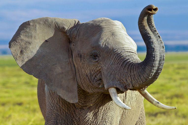 Een Afrikaanse olifant in het Amboseli National Park in Kenia. Beeld null
