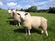 Boete van 15.000 euro voor voormalig schapenarts uit Winterswijk