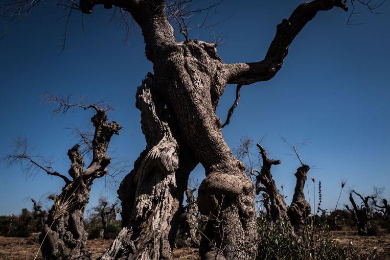 Een besmette olijfboom in Puglia. Beeld Zolin Nicola