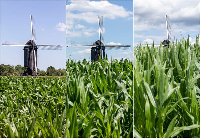 Boekelo - Foto van een maisveld dat groeit.