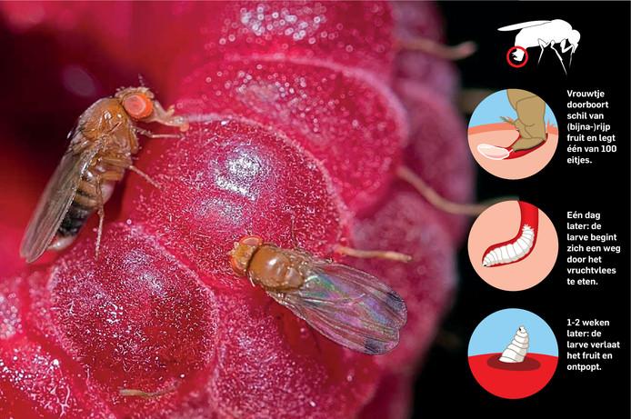 De handelwijze van de suzuki-fruitvlieg.